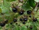 Tollkirsche, Atropa belladonna, Samen