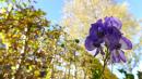 Blauer Eisenhut, Aconitum napellus, Samen