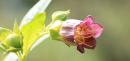 Tollkirsche gelb, Atropa belladonna Lutea, Samen