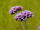 Eisenkraut Verbena officinalis, Samen